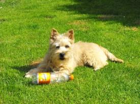 cairn terrier jett