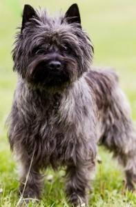 La race des cairn terrier, un chien rustique très attachant