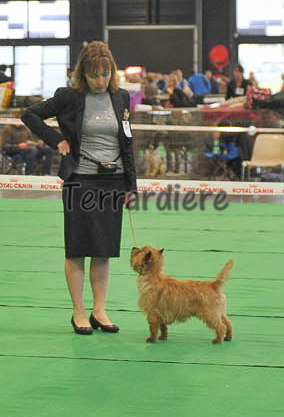 cairn terrier concours