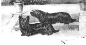 l'histoire du cairn terrier