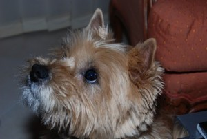 cairn terrier papy