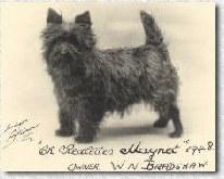 cairn terrier anglais