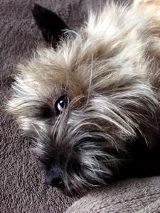 Oeil de cairn terrier