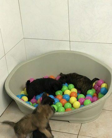 chiot cairn terrier