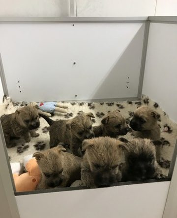 chiot cairn terrier 1 mois