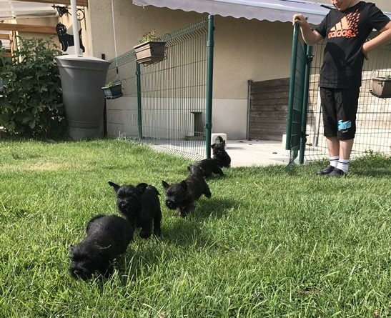 chiot cairn terrier 2 mois