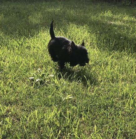 chiot cairn terrier de 2 mois