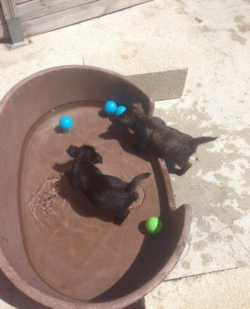 chiotcairn terrier