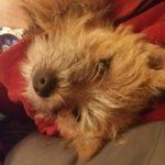 femelle cairn terrier