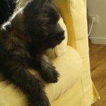 chiot cairn terrier Laïko
