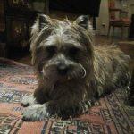cairn terrier de la terrardiere