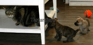 chiot cairn terrier chat
