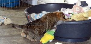 chiot cairn terrier jouet
