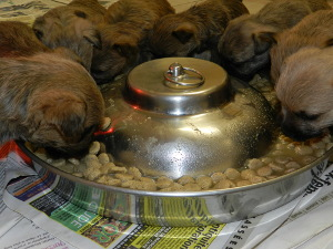chiot cairn mange