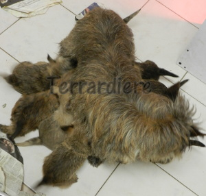 vaccination chiot cairn terrier