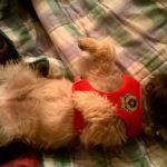 chiot cairn terrier dans son lit