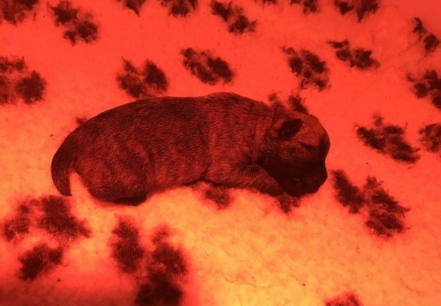 chiot cairn terrier 1