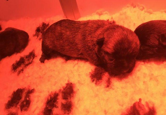 chiot cairn terrier 2