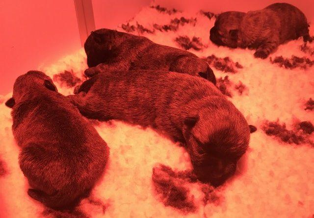 chiot cairn terrier 5