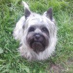 cairn terrier femelle