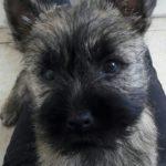 chiot cairn terrier de 3 mois