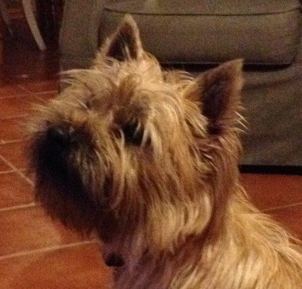 cairn terrier champion