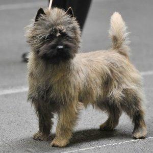 cairn terrier show