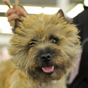 cairn terrier champion