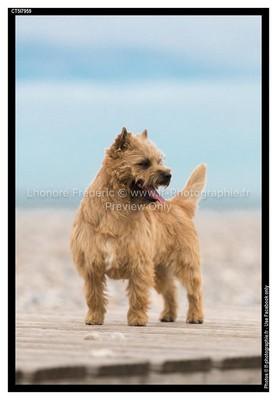 mâle cairn terrier