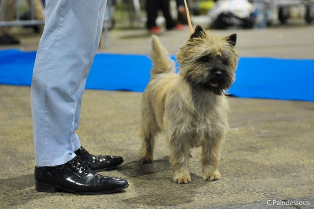 cairn terrier male