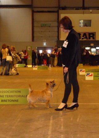 cairn terrier adulte