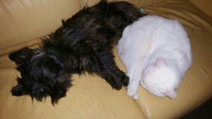 un cairn et son chat