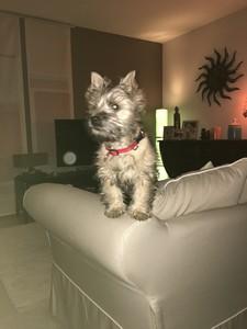 cairn terrier = canapé