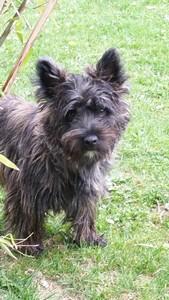 chiot-cairn-terrier (1)