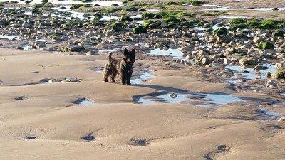 chiot-cairn-terrier (2)