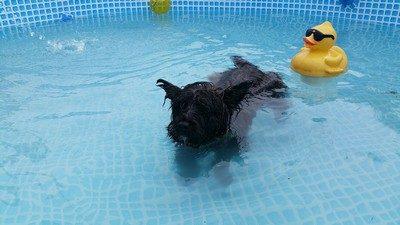 chiot-cairn-terrier (3)