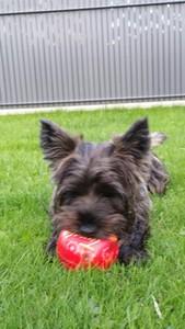 chiot-cairn-terrier (5)