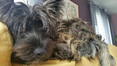 chiot-cairn-terrier (7)