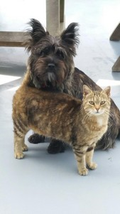 chiot-cairn-terrier (8)