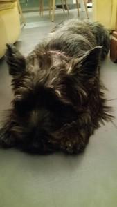 chiot-cairn-terrier (9)