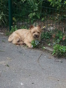chiot cairn terrier (80)