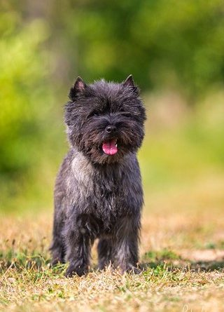 male cairn terrier laiko