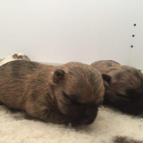 chiot cairn terrier (1)