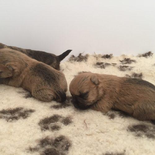 chiot cairn terrier (4)