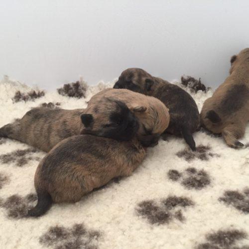 chiot cairn terrier (5)