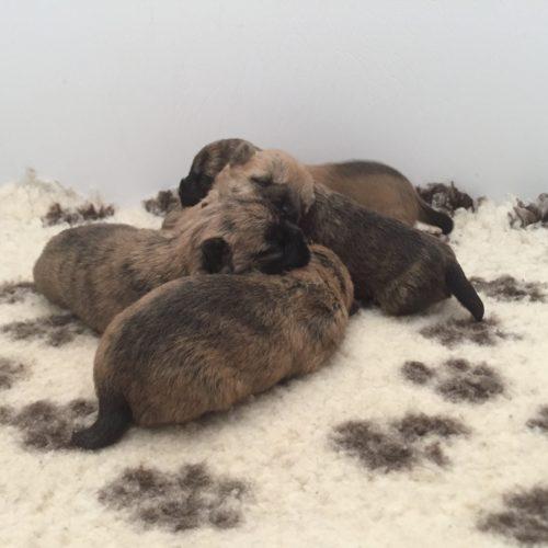 chiot cairn terrier (7)