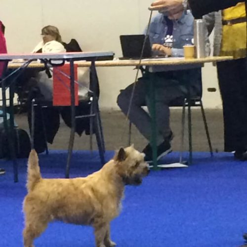 cairn terrier champion suisse nefertiti (6)
