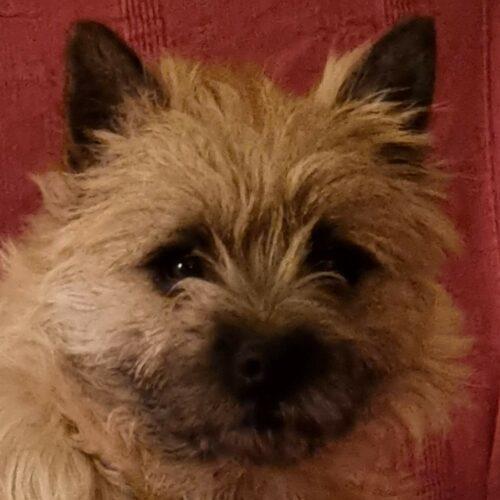 chiot cairn terrier (11)