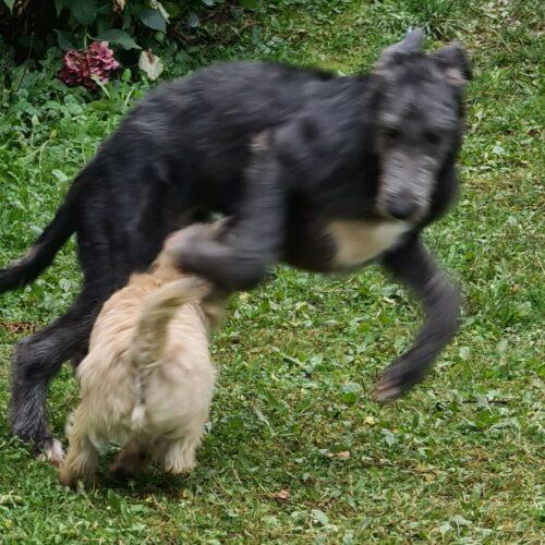 chiot cairn terrier (13)