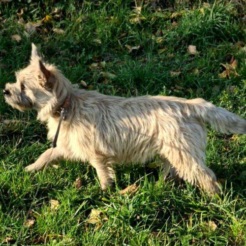 chiot cairn terrier (17)